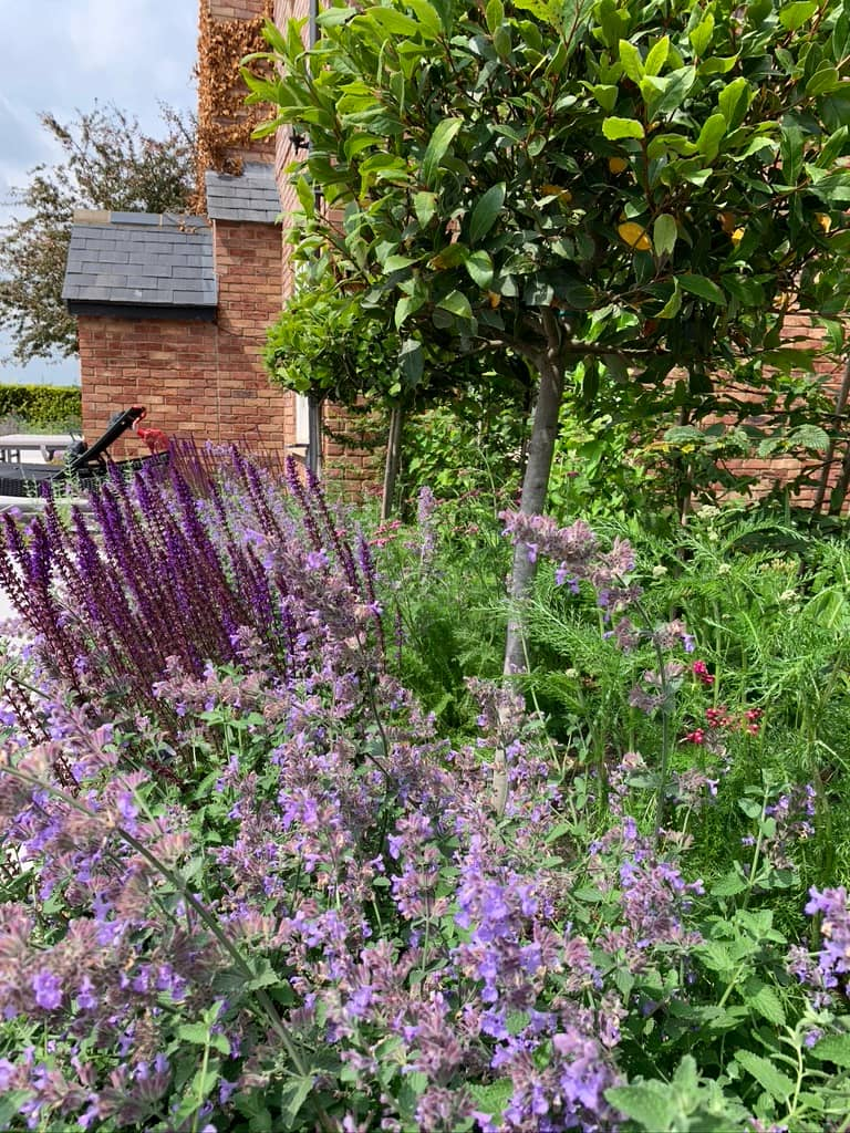 Salvia and Nepeta with bay trees