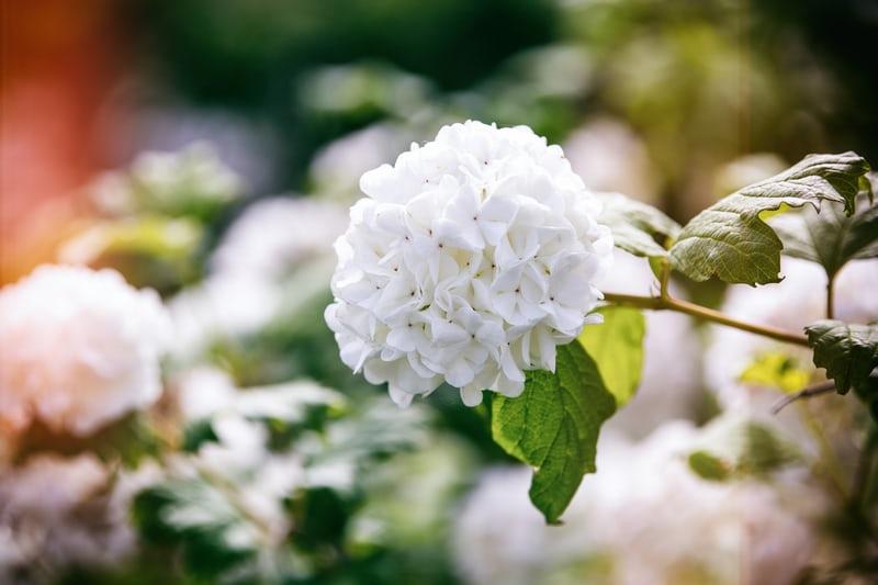 Viburnum opulus roseum with white flowers