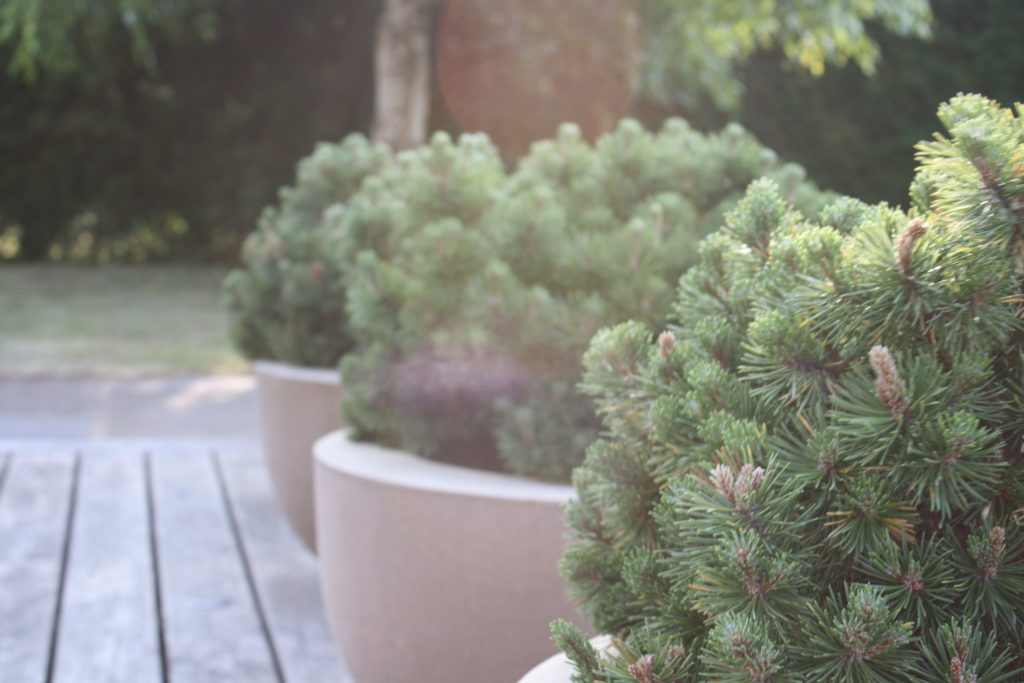Pinus mugo mops in pots