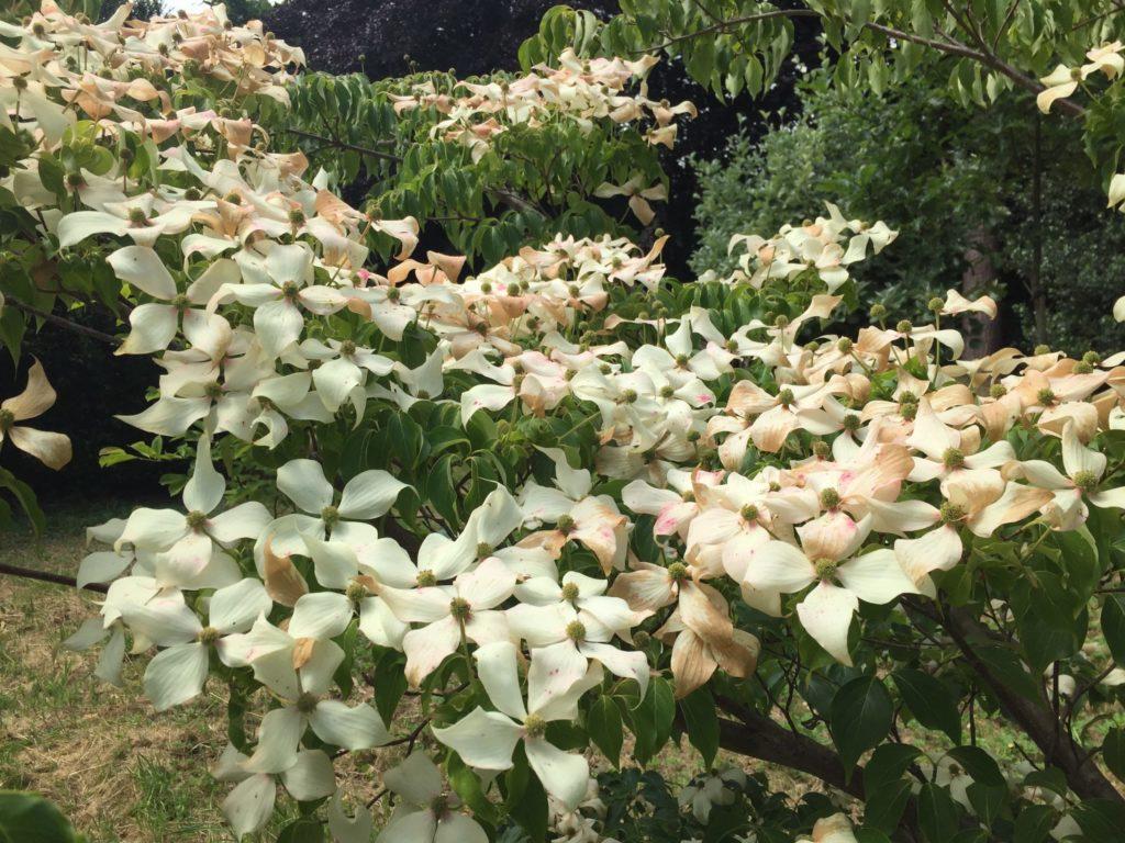 Cornus kousa with white flowers