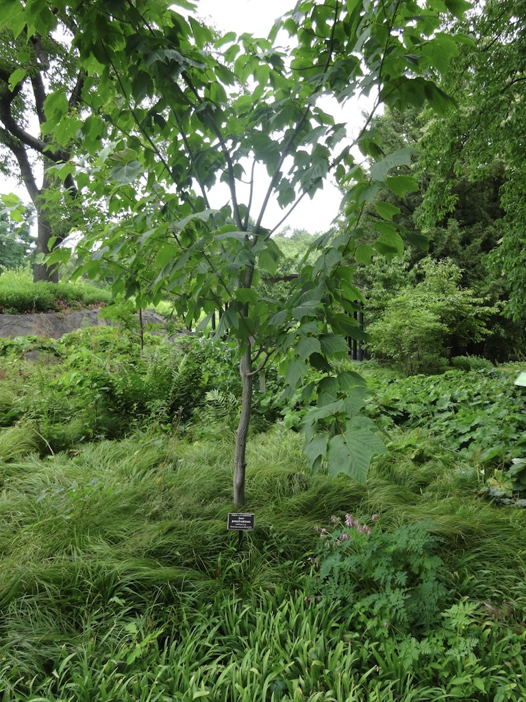 Grasses underplanting an Acer