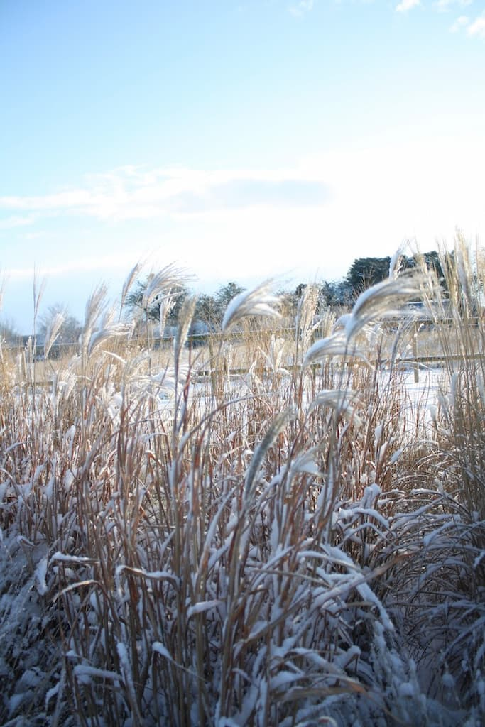 Miscanthus seed heads in winter with snow