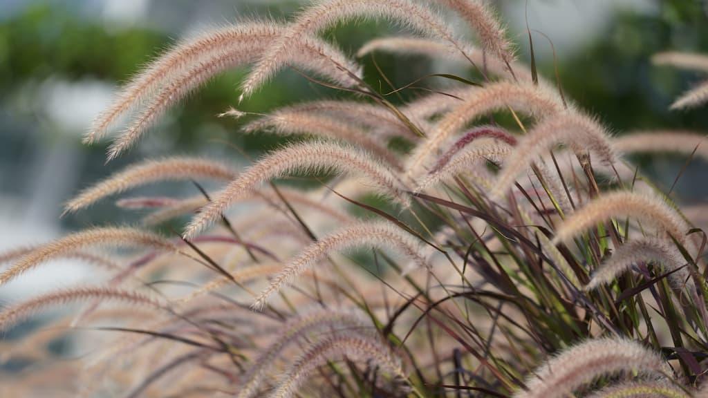 Pennisetum rubra in flower
